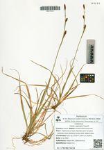 Carex vaginata Tausch