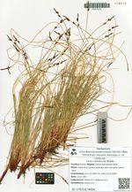 Carex vanheurckii Mueller