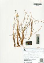 Eriophorum russeolum Fries