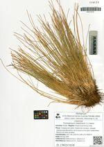 Trichophorum cespitosum (L.) Hartm.