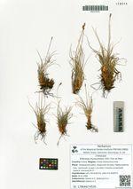 Kobresia myosuroides (Vill.) Fiori et Paol.