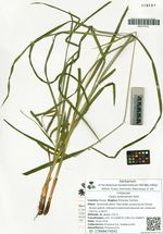Carex suifunensis Kom.