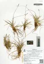 Carex melanocarpa Cham. ex Trautv.