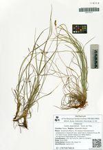 Carex argunensis   Turcz. ex Trev.