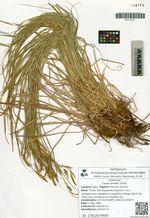 Carex arnellii Christ