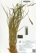 Carex augustinowiczii Meinsh.