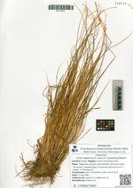 Carex lapponica O. Lang var. caespitosa Galanin