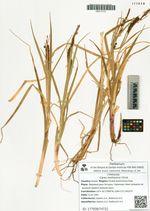 Carex mollissima Christ