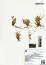 Carex ledebouriana C.A.Mey. ex Trev.