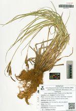 Carex appendiculata (Trautv. et C.A. Mey) Kük