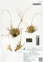 Carex misandra   R. Br.