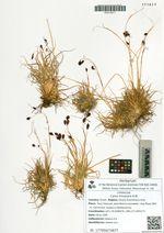 Carex misandra R.Br.