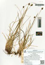 Carex norvegica Retz.  subsp. angarae (Steudel) Labauru
