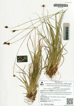 Carex norvegica Retz subsp. angarae Steudel.