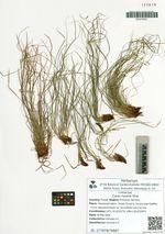 Carex nanella Ohwi