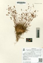 Luzula camtschadalorum (Sam.) Gorodk. ex Kryl.