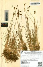 Juncus gracillimus (Buchenau) V. Krecz. et Gontsch.