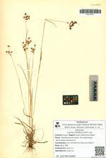 Luzula multiflora (Ehrh.) Lej.