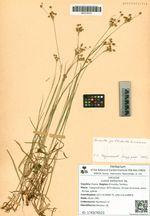 Luzula pallescens Sw.