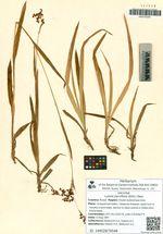Luzula parviflora (Ehrh.) Desv.