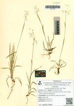Luzula rufescens Fisch. ex E. Mey.