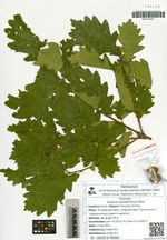 Quercus wutaishanica Mayr