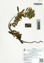 Argusia sibirica (L.) Dandy
