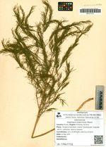 Asparagus oligoclonos Maxim.