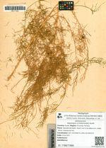 Asparagus schoberioides Kunth