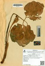 Arisaema robustum (Engl.) Nakai
