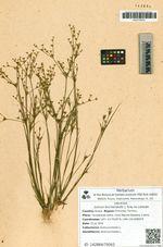 Juncus leschenaultii J. Gray ex Laharpe