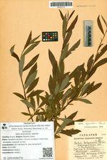 Salix kolymensis Seemen