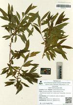 Salix brachycarpa Nutt.