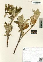 Salix alaxensis Cov.
