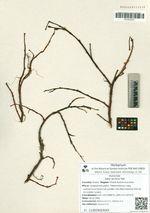 Salix arctica Pall.
