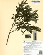 Salix brachypoda (Trautv. et Mey.) Kom.