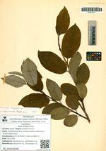 Salix hultenii B. Floder