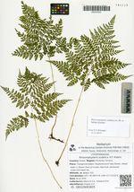 Rhizomatopteris sudetica A.P. Khokhr.