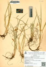 Iris uniflora Pall. ex Link