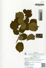 Corylus mandshurica Maxim.