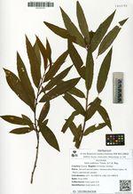 Salix udensis Trautv. & C.A. Mey.