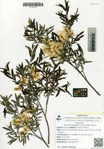 Salix brachypoda (Trautv.et Mey.) Kom.