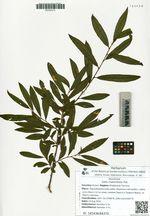 Salix rhamnifolia Pall.