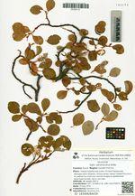Salix nakamurana Koidz.
