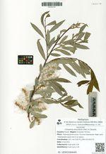 Chosenia arbutifolia (Pall.) A. Skvorts.