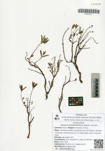 Aizopsis middendorfiana (Maxim.) Grulich