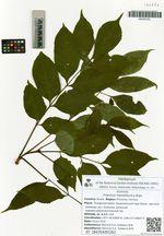 Fraxinus mandshurica Rupr.