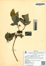 Toisusu cardiophylla  (Trautv. et Mey.) Kimura