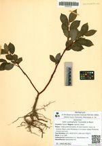 Salix cardiophylla Trautvetter & Meyer