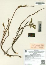 Salix chamissonis Andersson